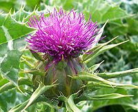 Useful herbs - Milk Thistle