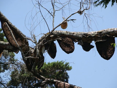 honeybee nests on a tree at SIM's park, Coonoor
