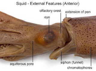 lab report squid dissection