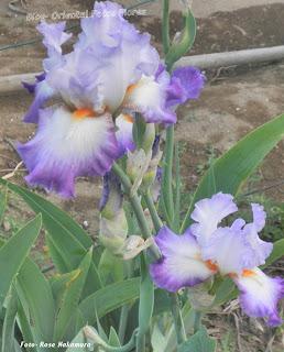 flores do Japão