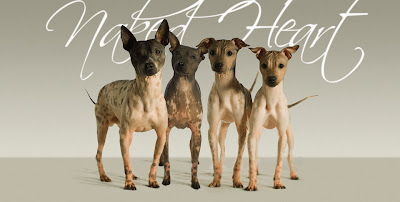 chinese crested hairless dogs