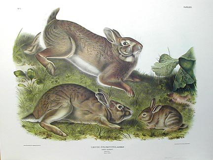 rabbits by John James Audubon