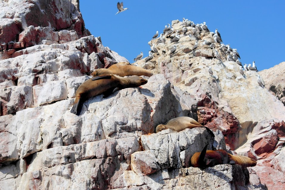 sea lions peru ballestas islands