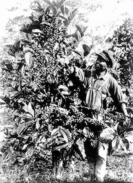 Harvesting Coffee in Batangas, 1927.  Image credit:  U.S. National Archives; University of Wisconsin Digital Collections.